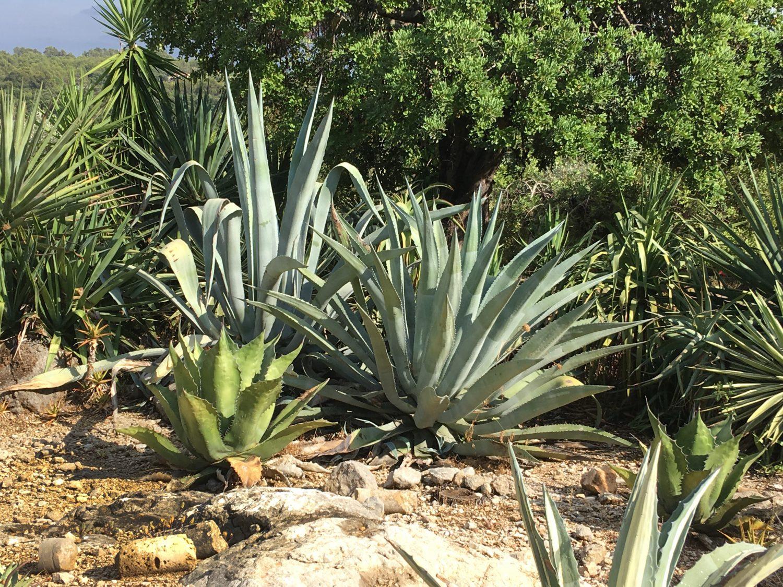 A succulents garden in Majorca