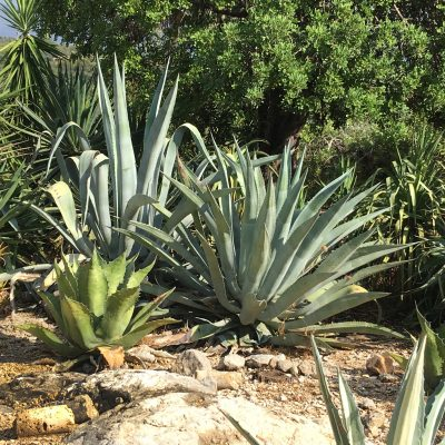 A succulents garden in Majorca