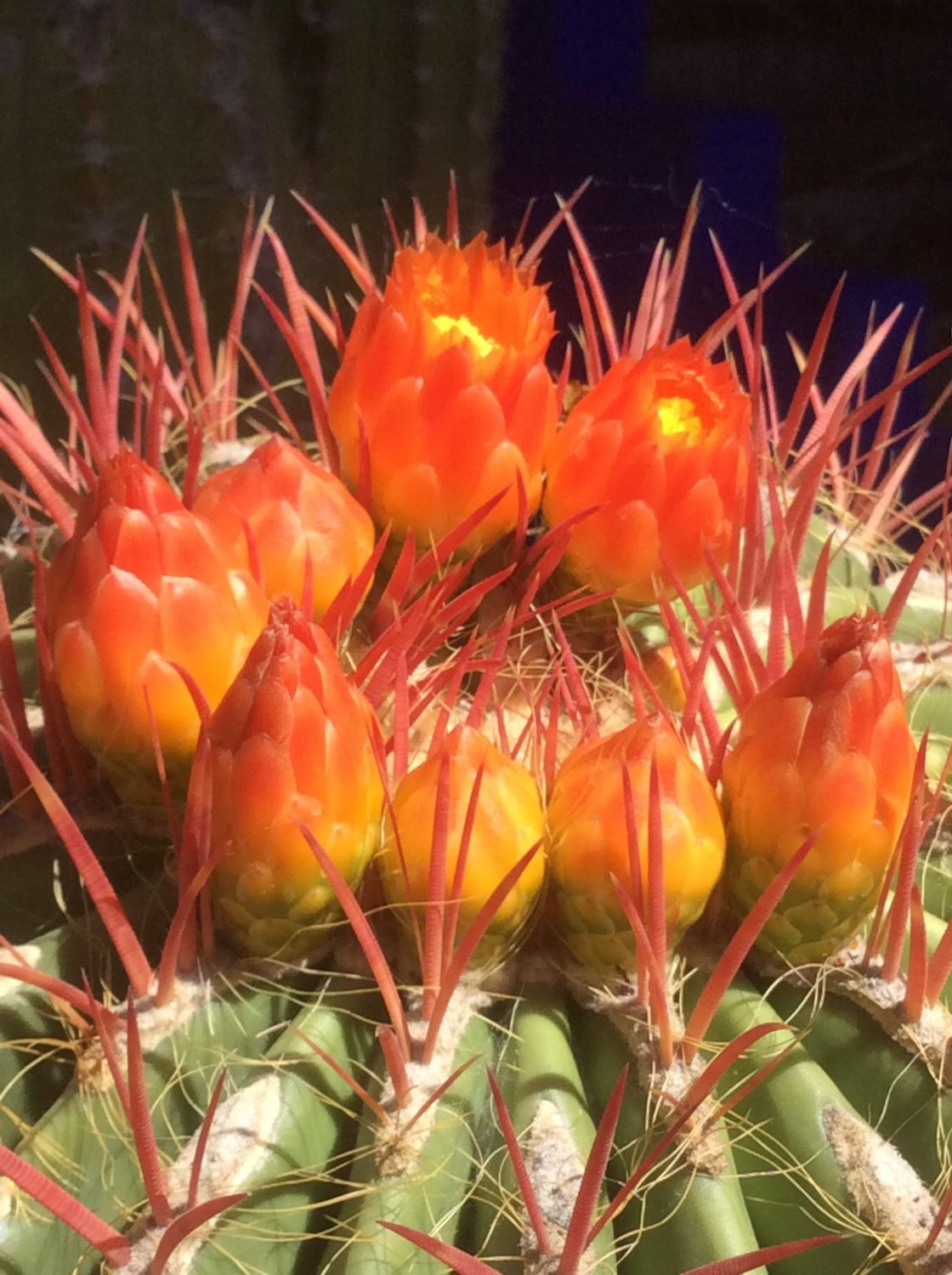 Many cactus originate from Mexico, a country rich in biodiversity