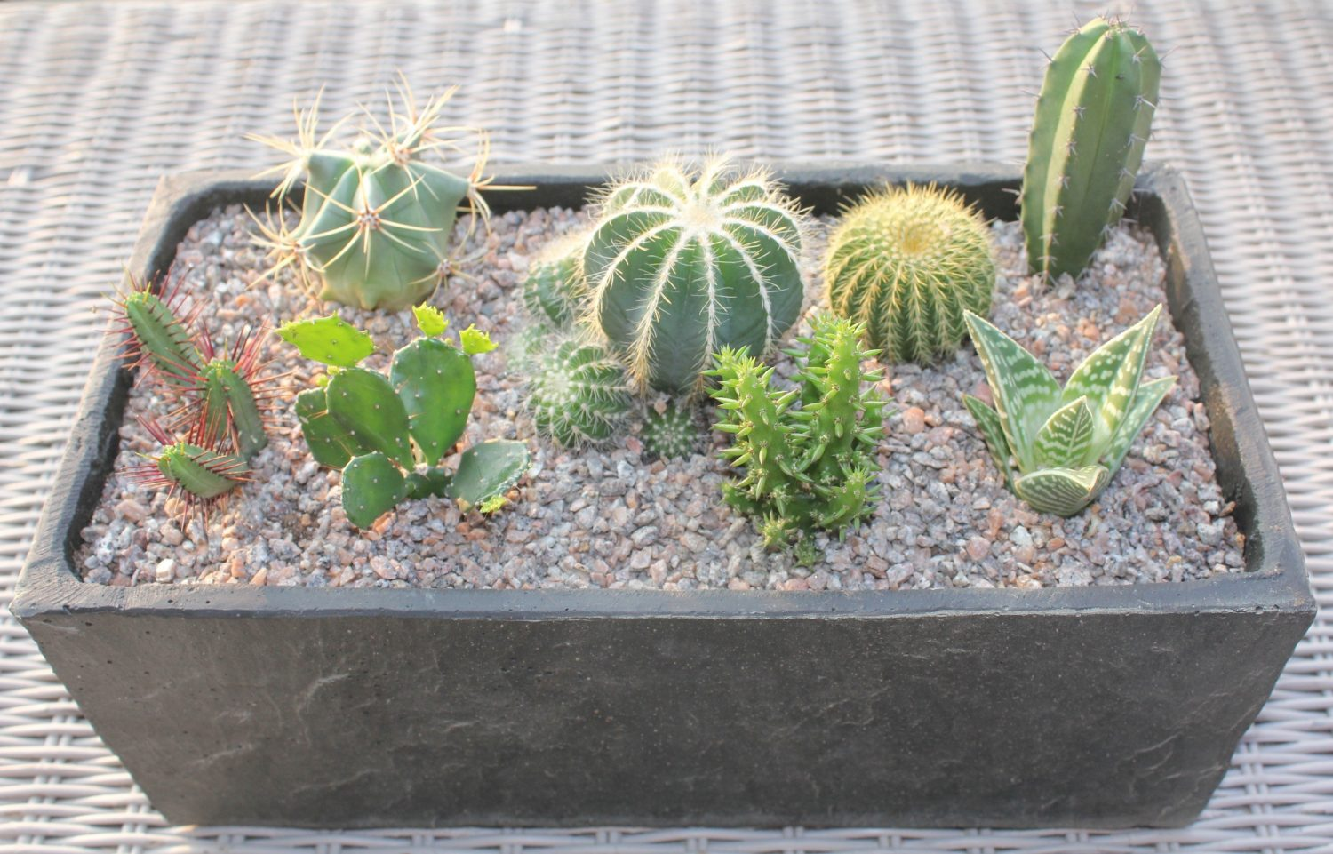 Cacti and succulents (contrary to popular opinion in my family) do need to be watered