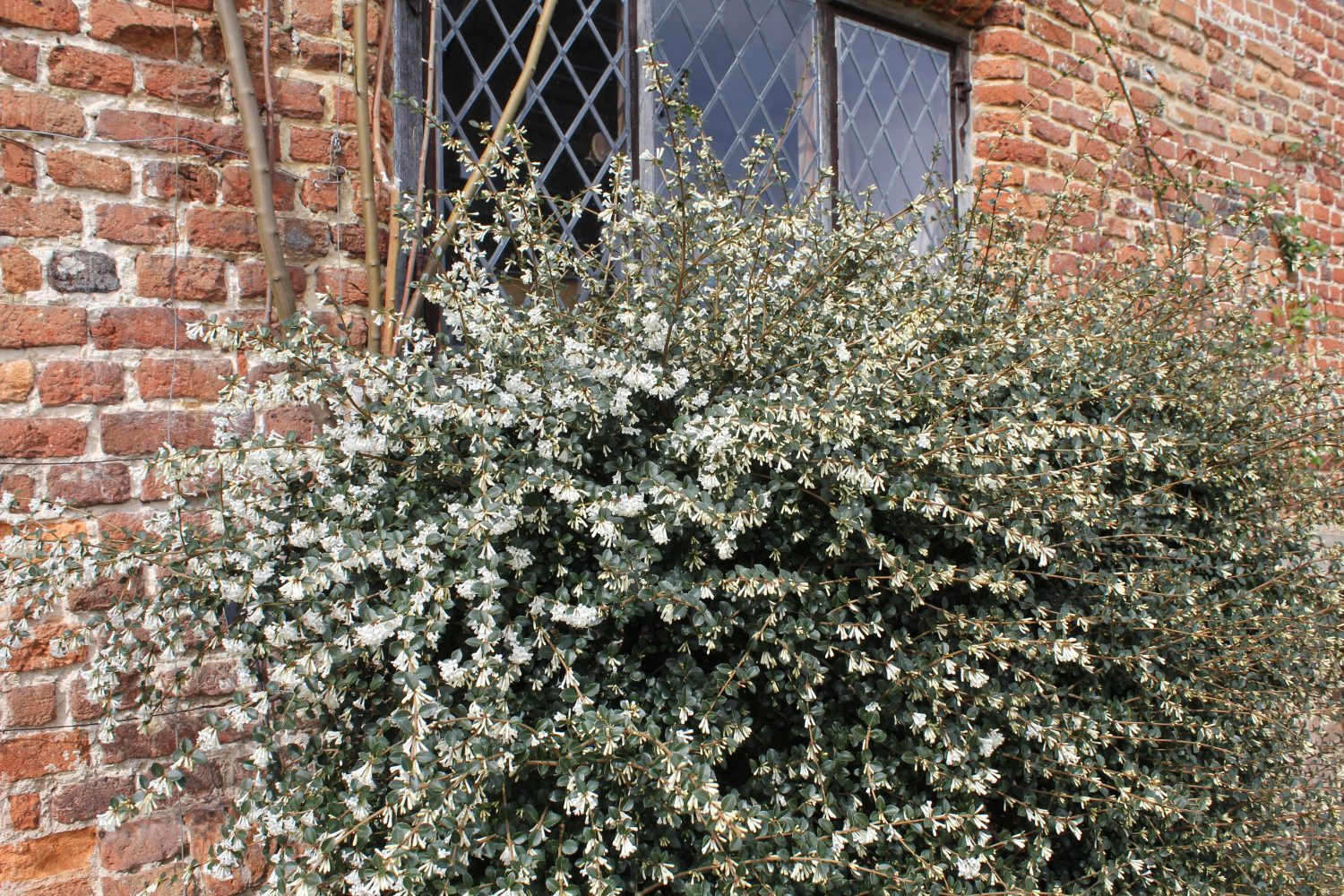 Osmanthus x burkwoodii is an evergreen with small box-like leaves and tiny white flowers that have an intense fragrance