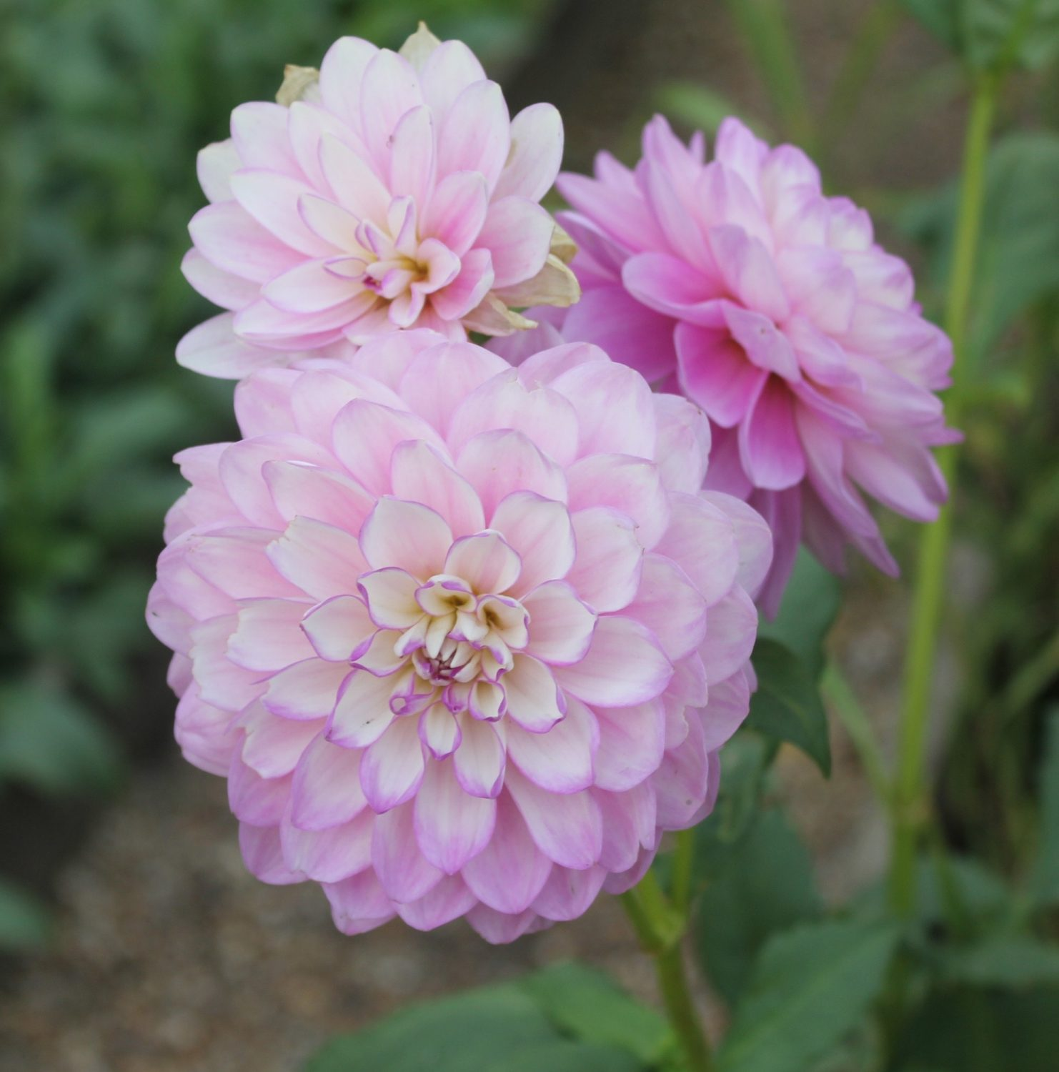 Dahlias come in many varieties