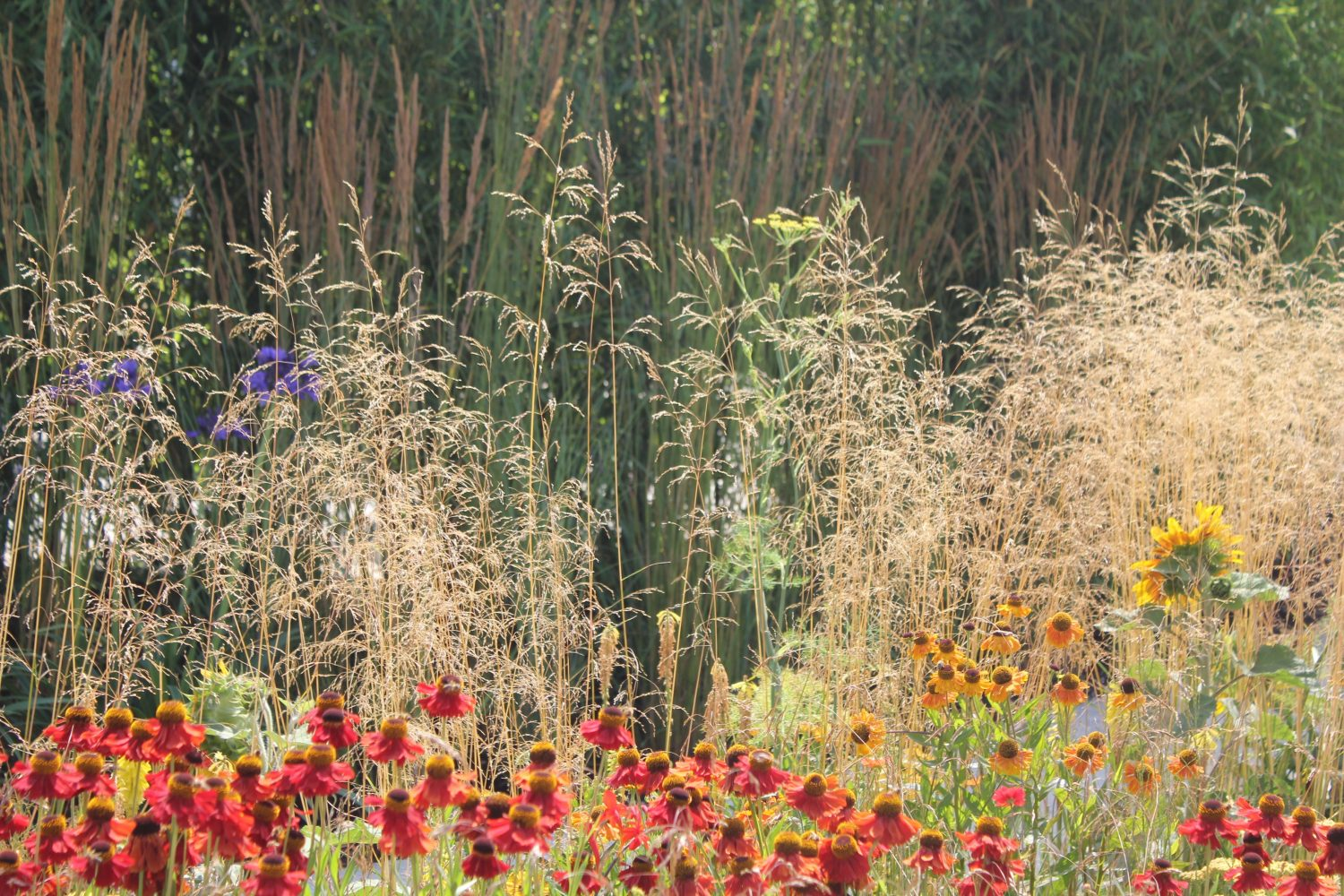 Heleniums and grass