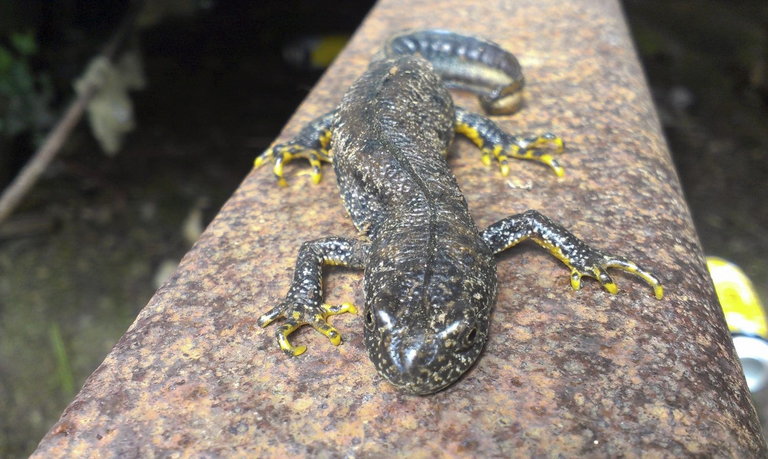 It may be a year or two before the amphibians spot a new residence