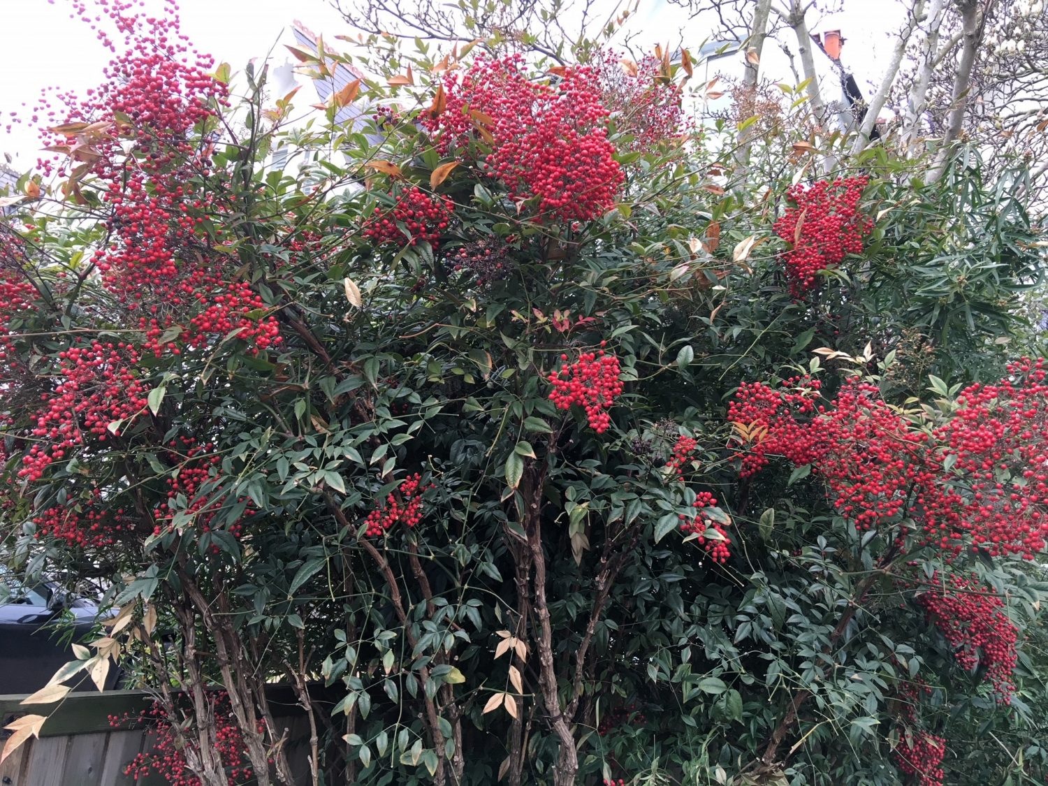 Large specimens of the sacred bamboo, Nandina domestica, with its showy clumps of red berries, in the same Putney garden
