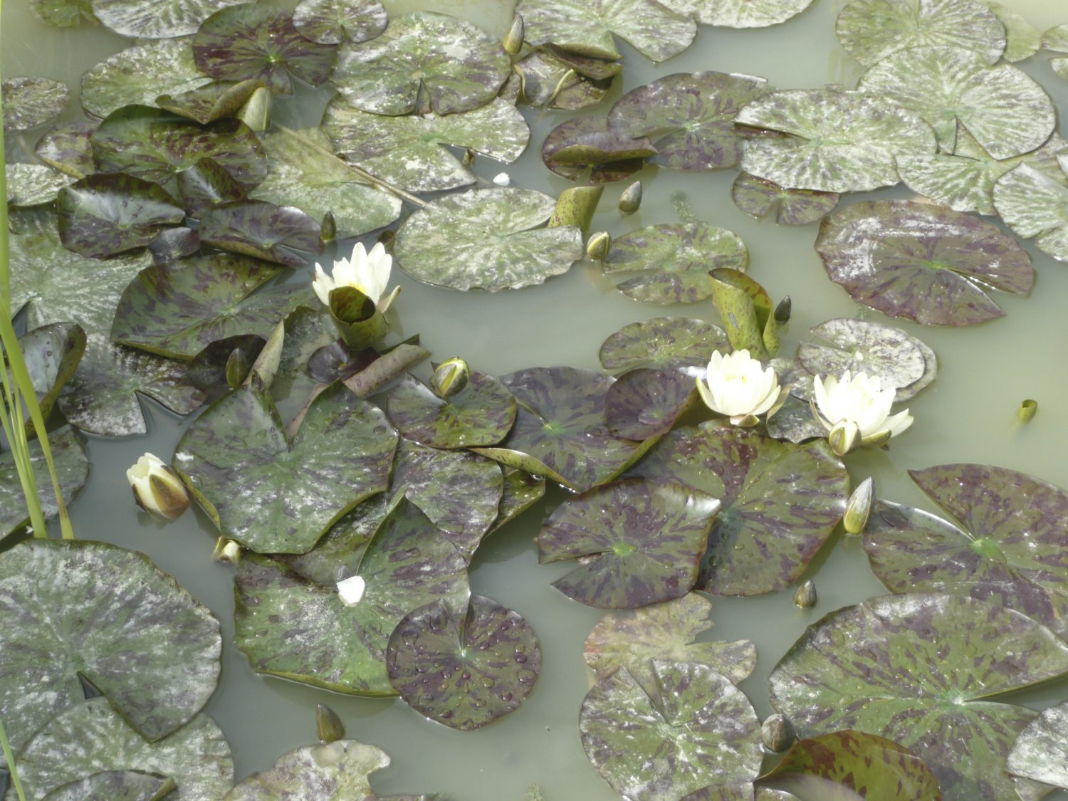 Lovely water lilies