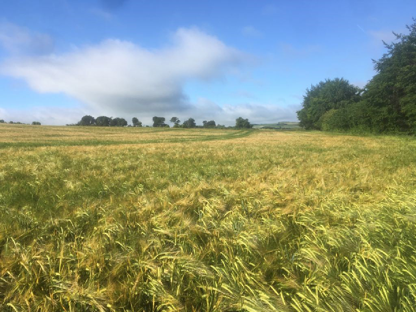 Barley ripening in a quintessentially English landscape