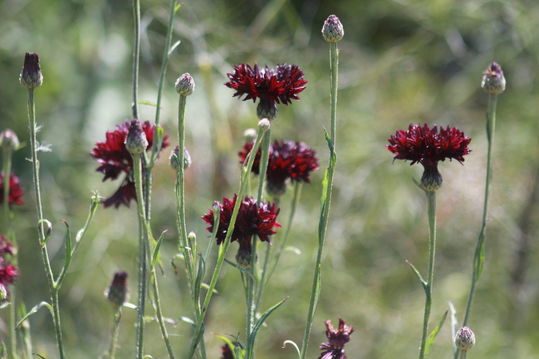 Centaurea cyanus annual cornflower
