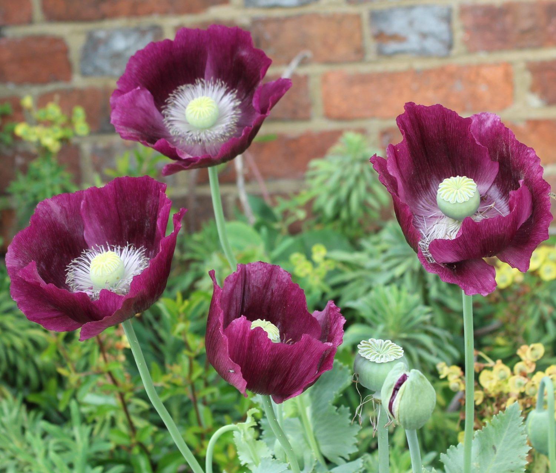 Self-seeding annual opium poppy 'Lauren's Grape'