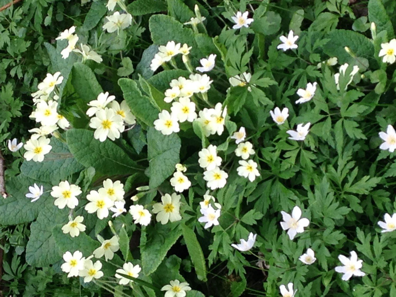 Primroses and wood anemones