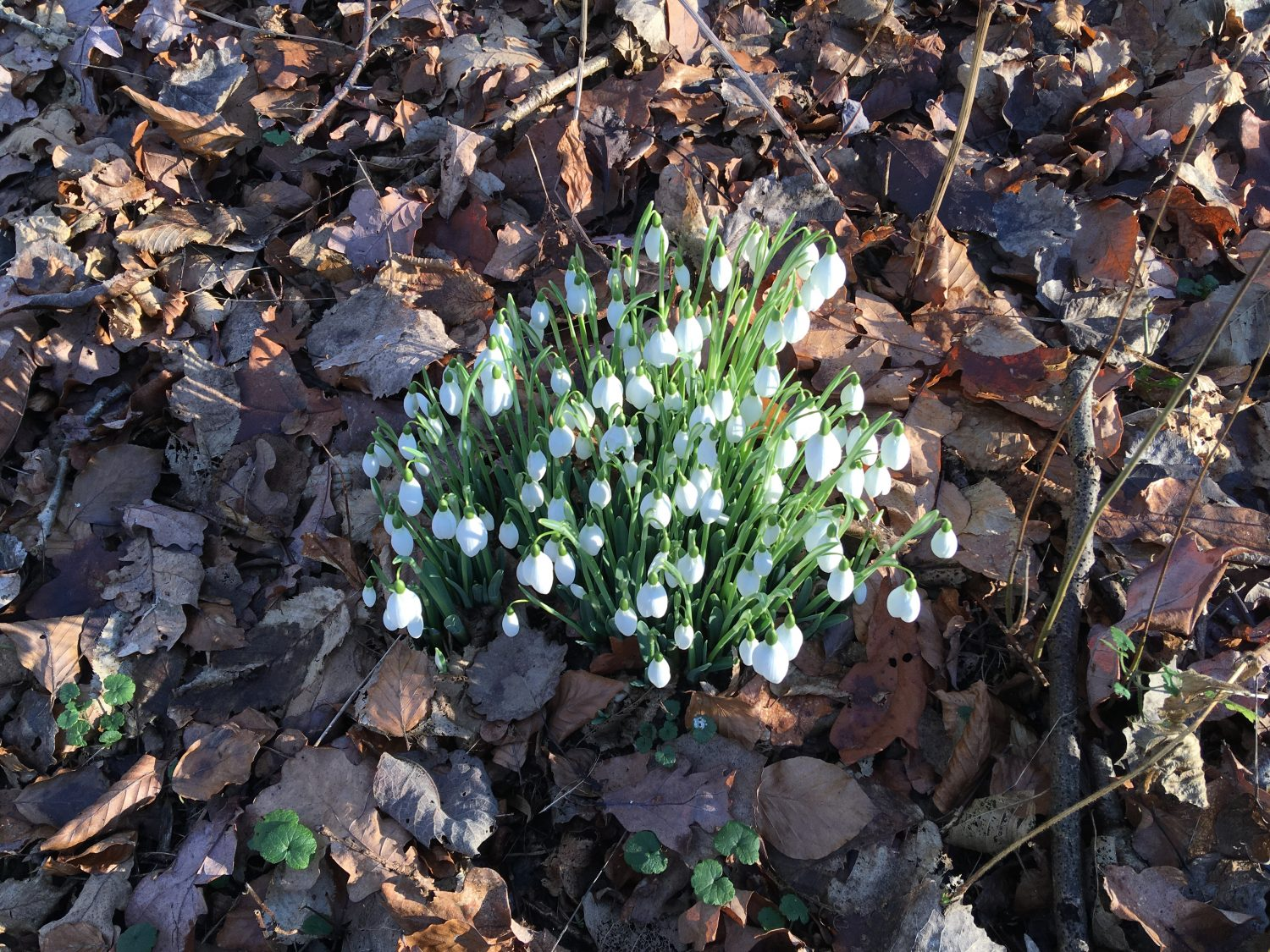 Snowdrops are always a welcome sight