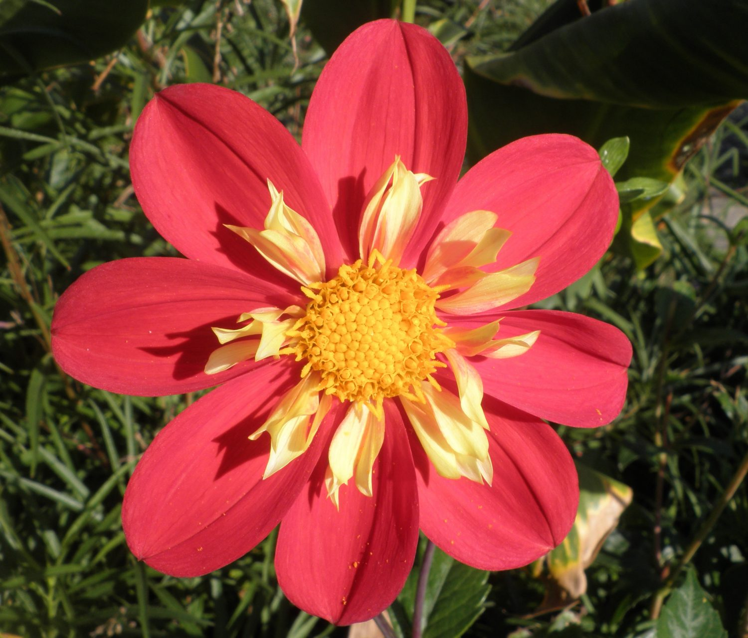 Dahlias appreciate the same rich soil as vegetables