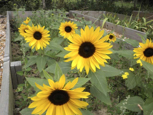 Sunflowers can be grown as a cut flower or to entice pollinators to your patch