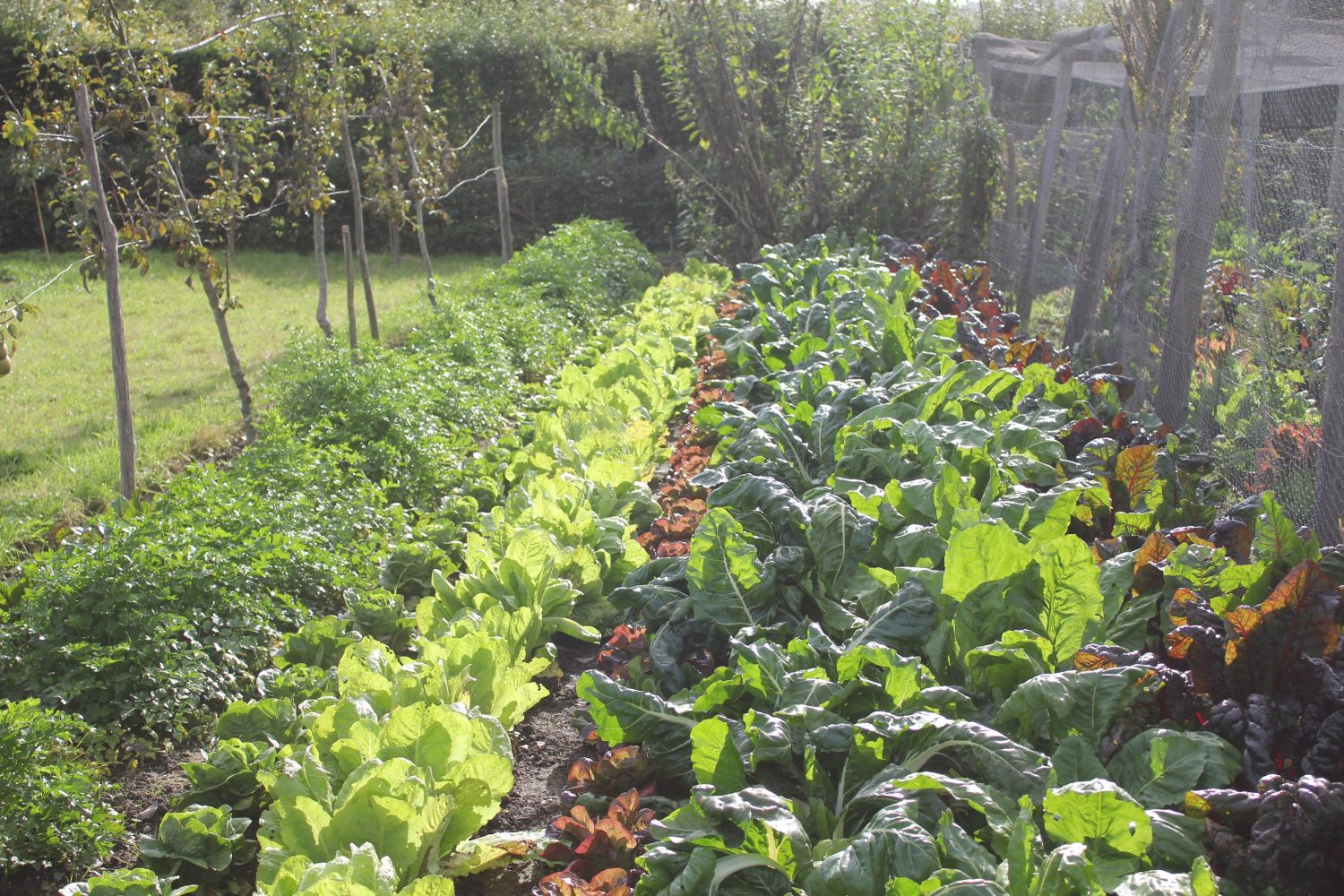 Vegetables grown in traditional rows