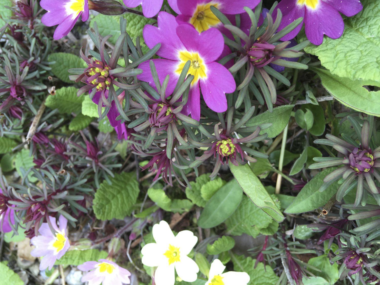 Euphorbia cyparissias 'Fens Ruby'