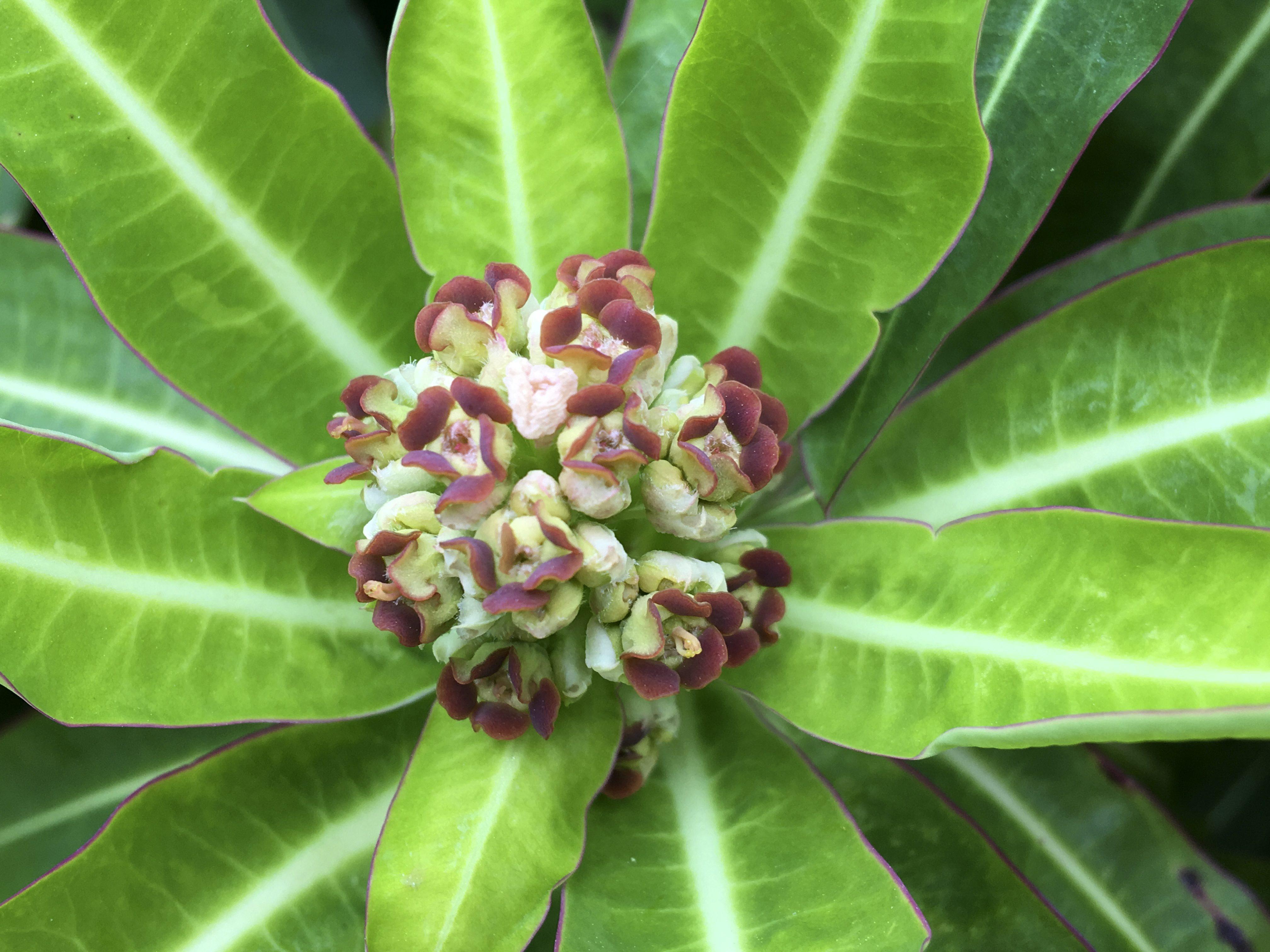 Euphorbia Euphoria Priceless Magazines