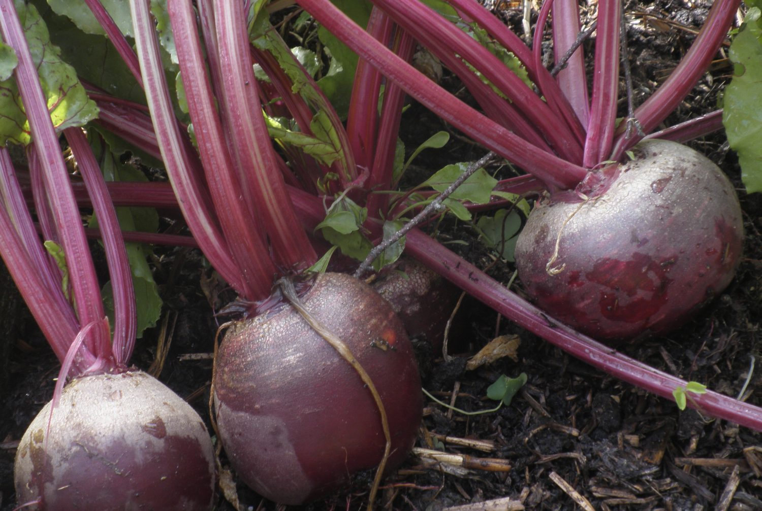 Harvest beetroot from an early sowing, or sow some more now