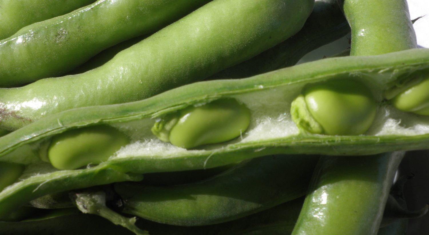Pick broad beans when the beans are the size of your thumbnail