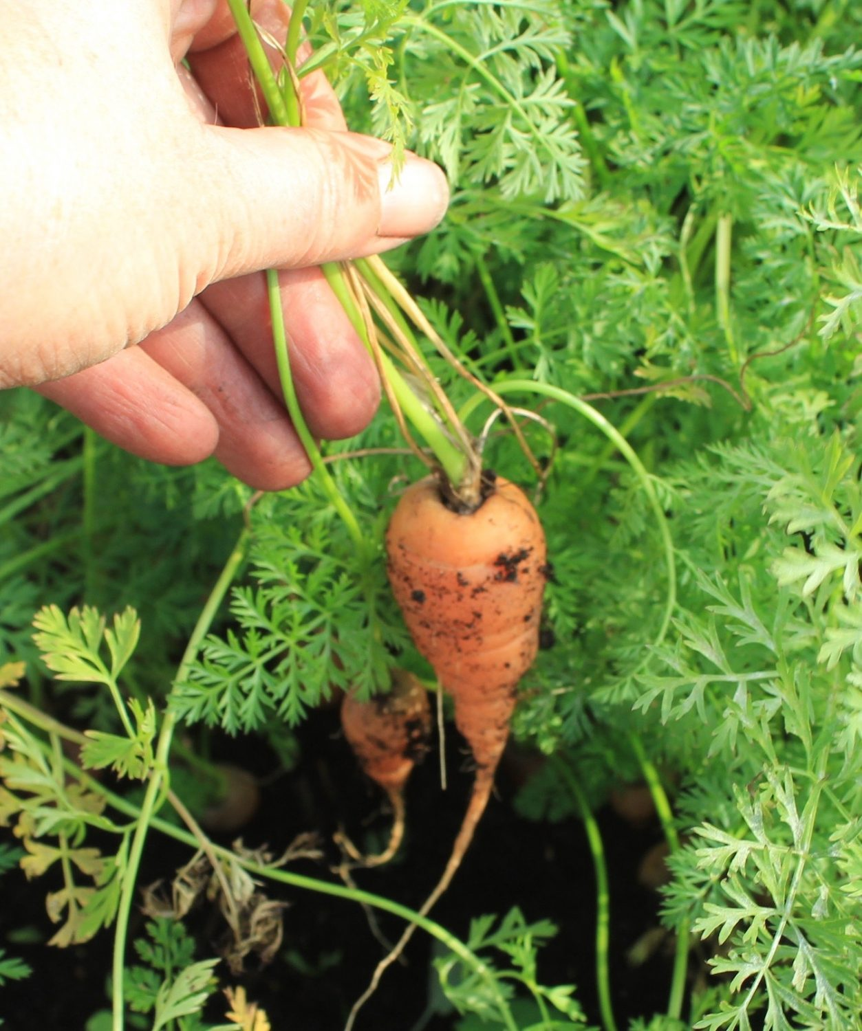 Chantenay carrots are great to grow in containers