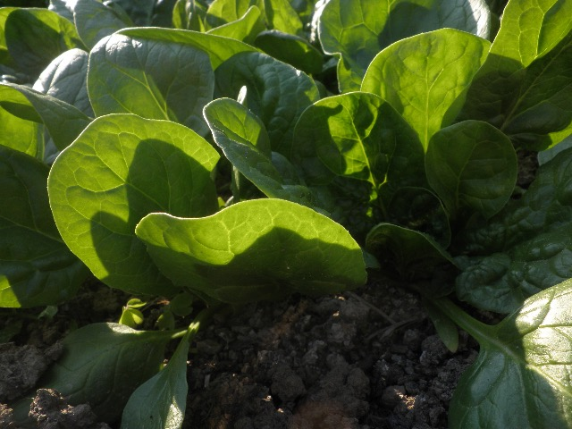 Spinach is at its leafy best now