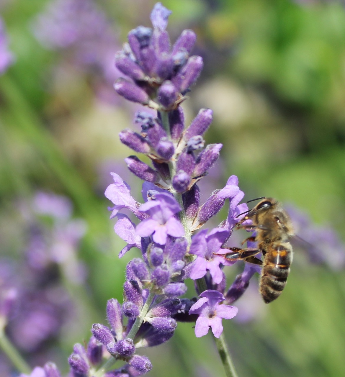 A honey bee collecting nectar from lavender