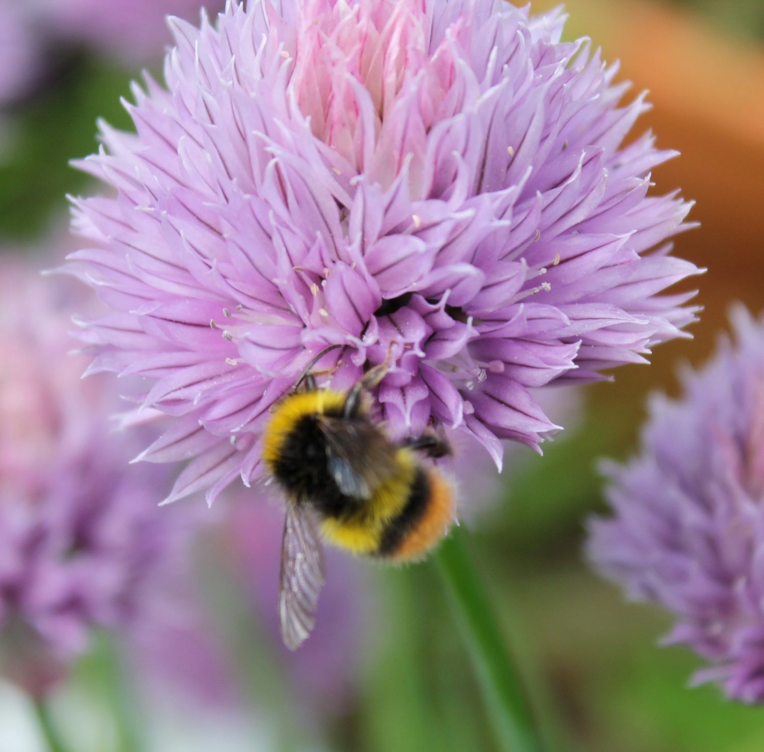 Chives and other alliums are nectar rich