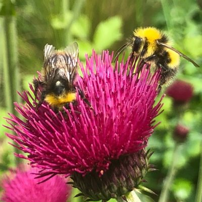 Cirsium rivulare – bees love thistles
