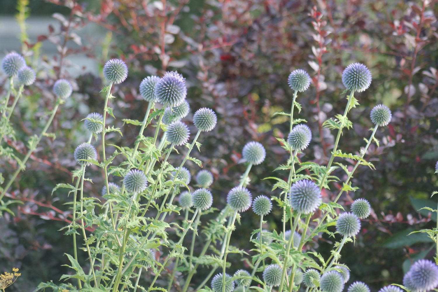 Echinops is a 'bee magnet' in late summer