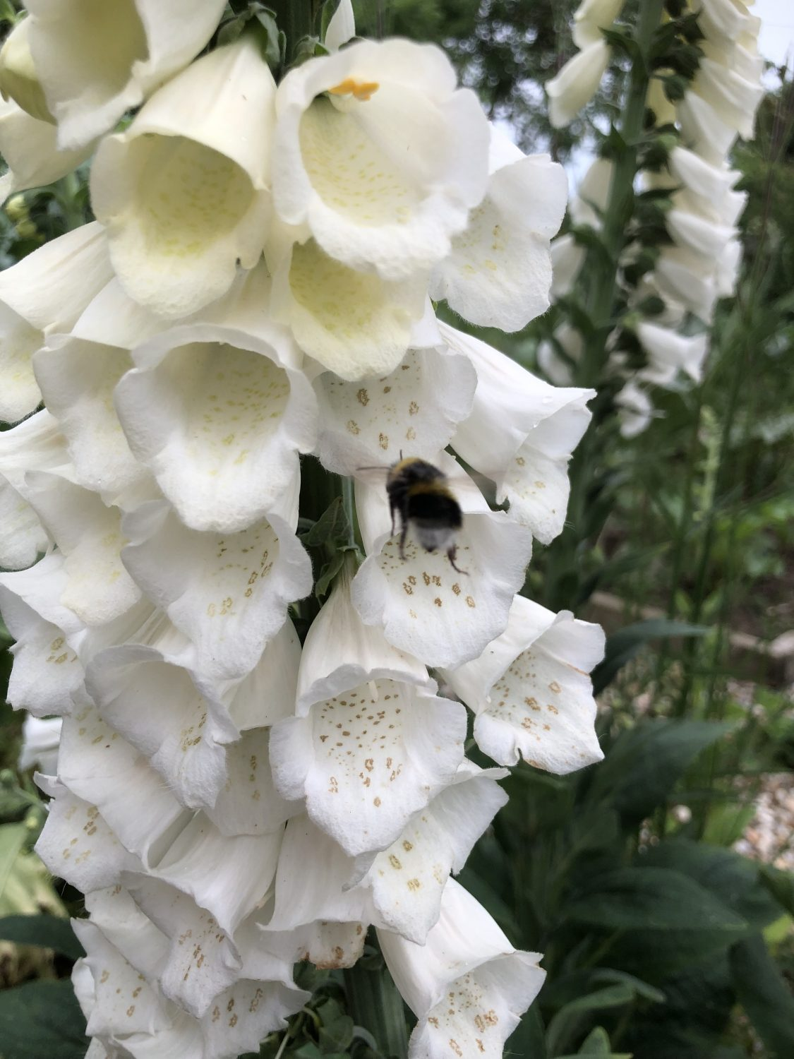 Foxgloves have spotted 'landing strips' designed to guide the bees into the flowers