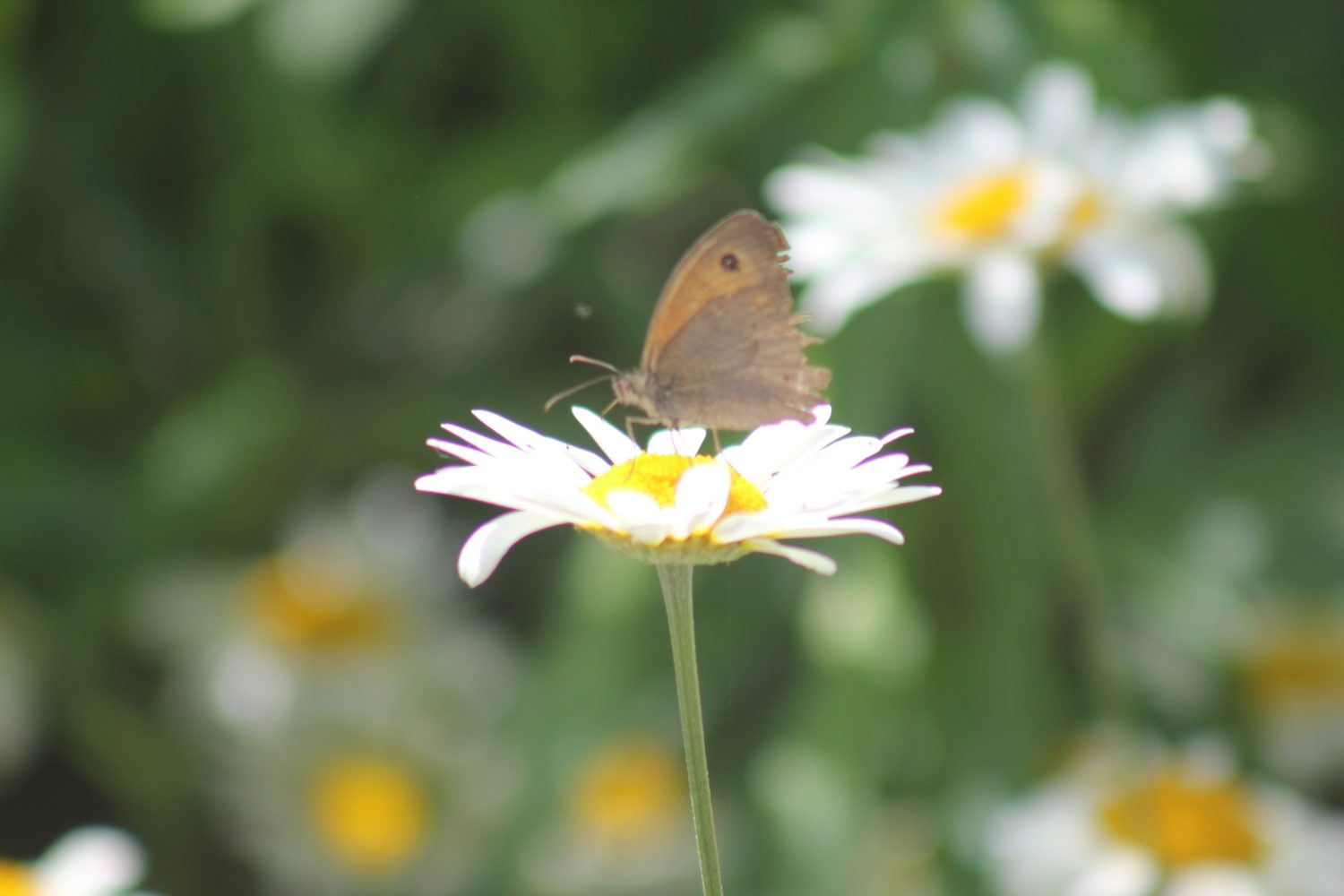 Flowers in the daisy family make great 'landing pads' for insects