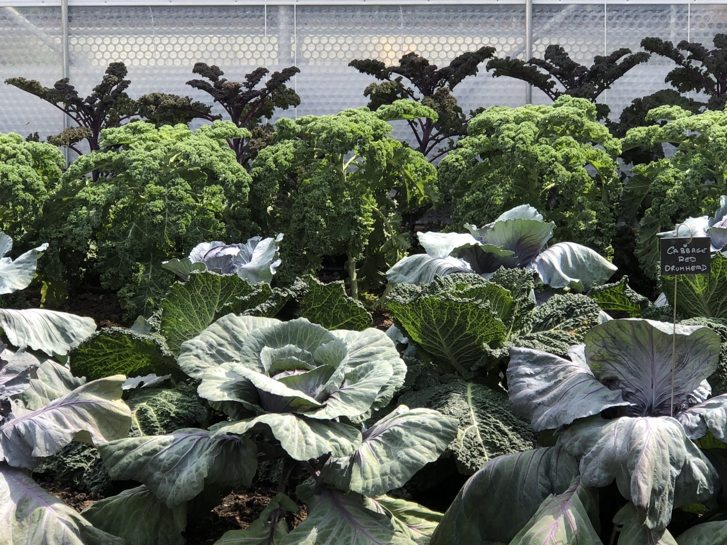 Kale and cabbages growing side by side. Grow leafy plants in semi-shade, or keep them well watered, as they may bolt.