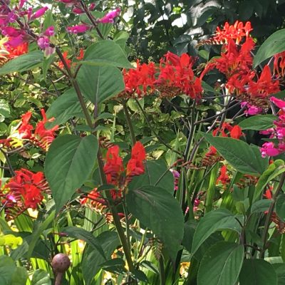 Salvia involucrata with Crocosmia 'Lucifer'