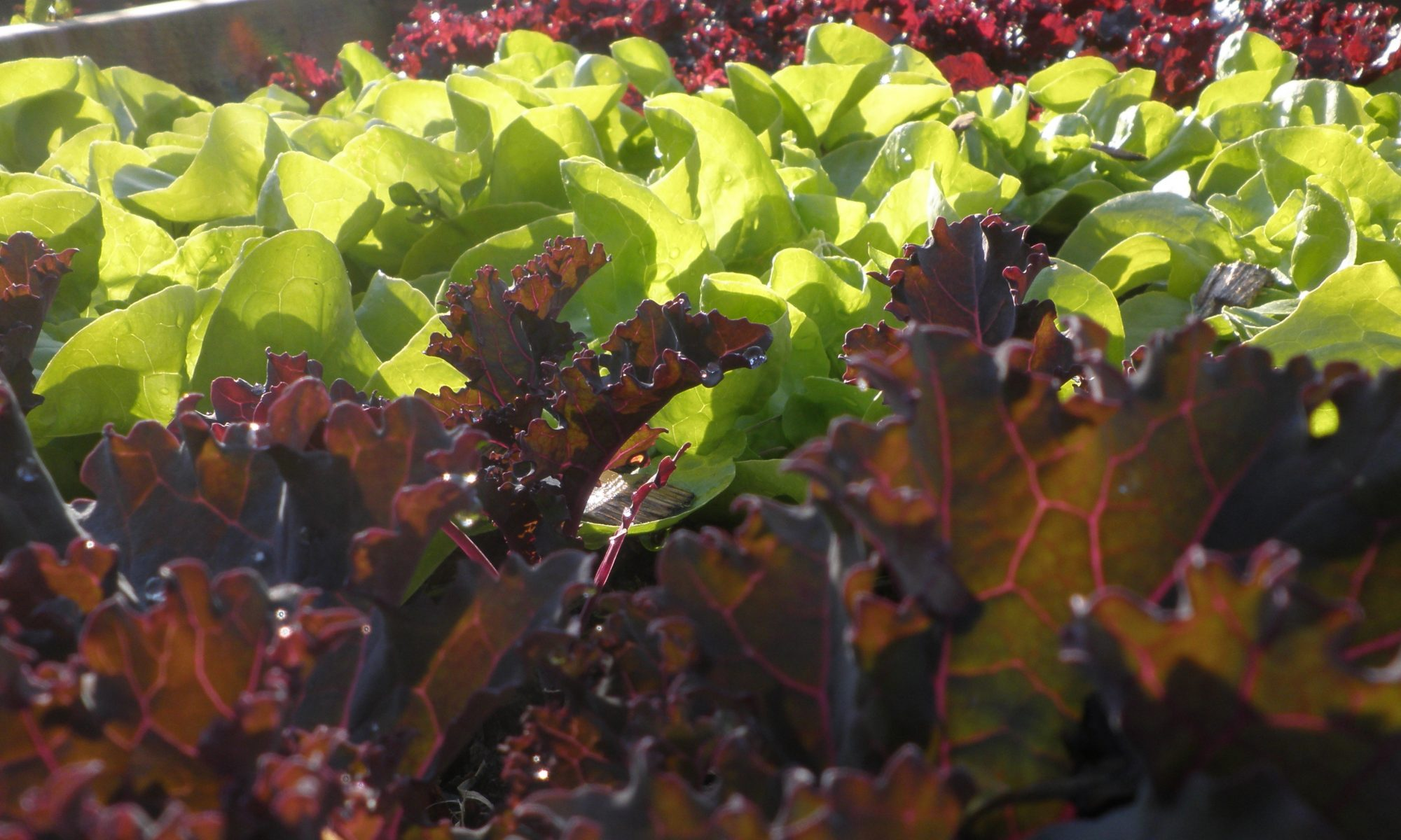 Rows of lettuces make for a pretty combination of colours