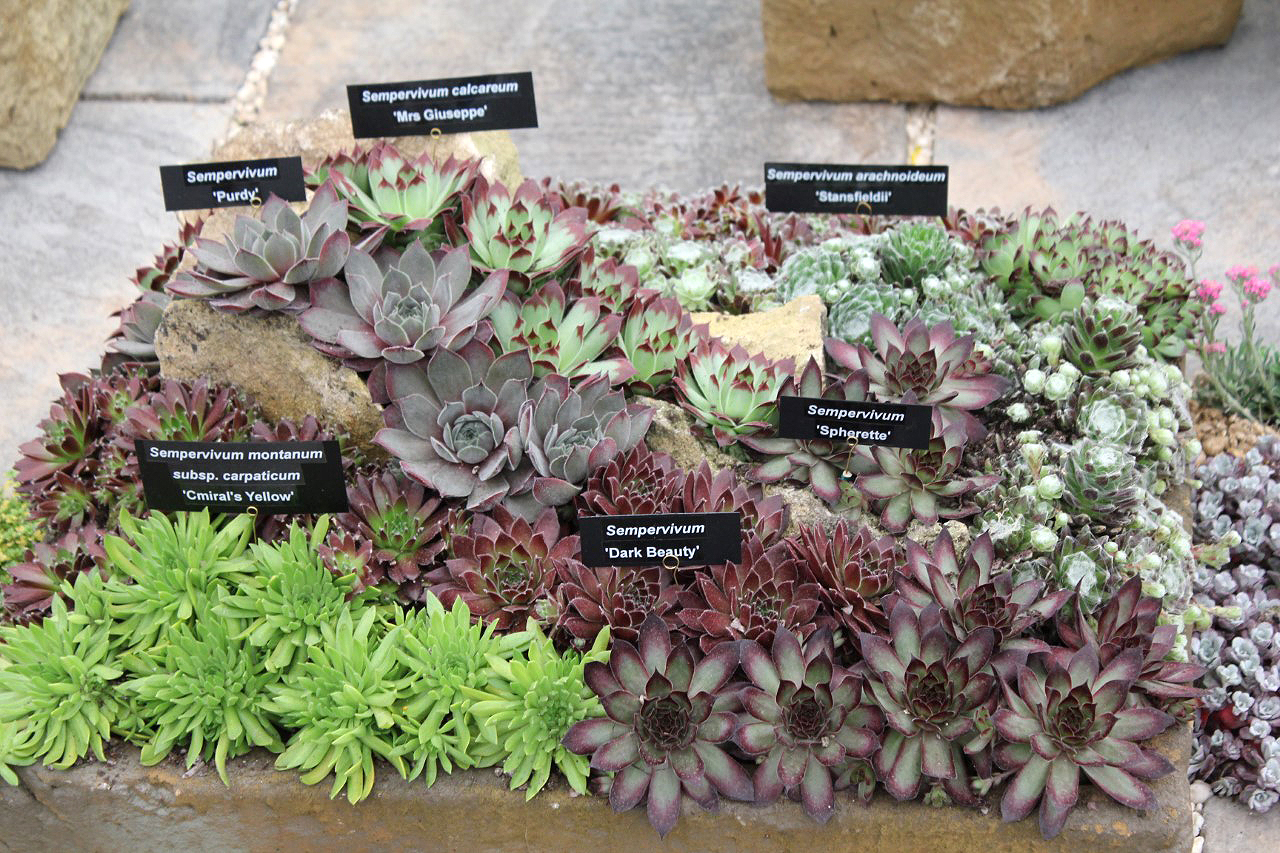 Succulents have become a popular sight at flower shows