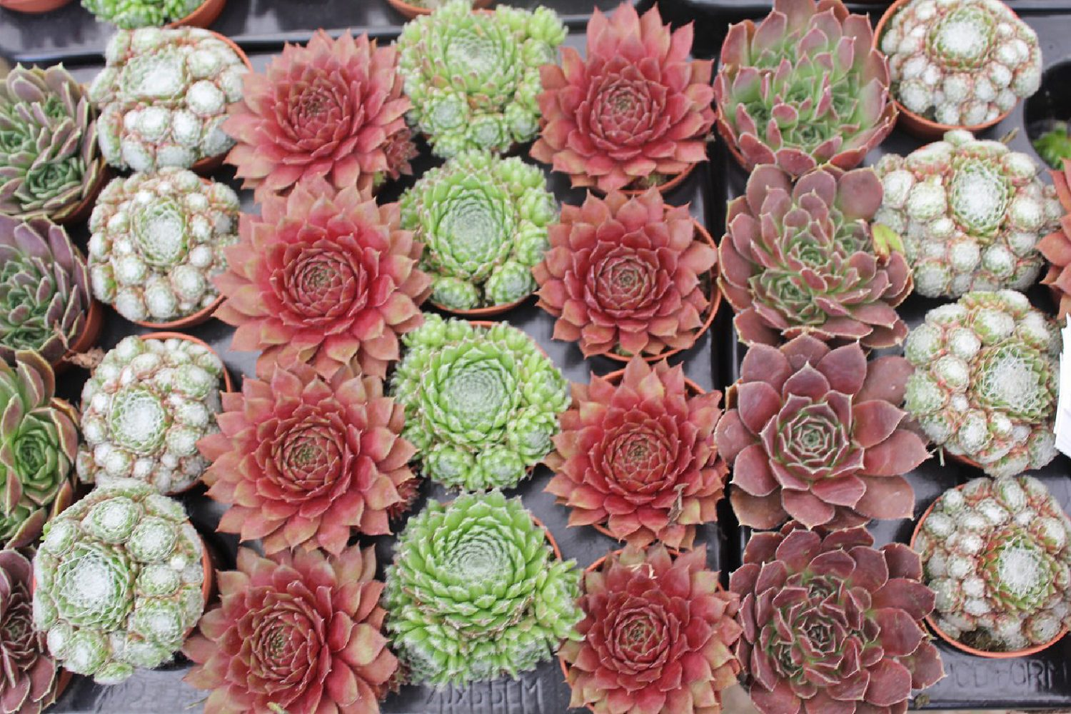 Take-your-pick-succulents-lining-up-for-sale