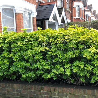 Choisya ternata 'Sundance' as a hedge