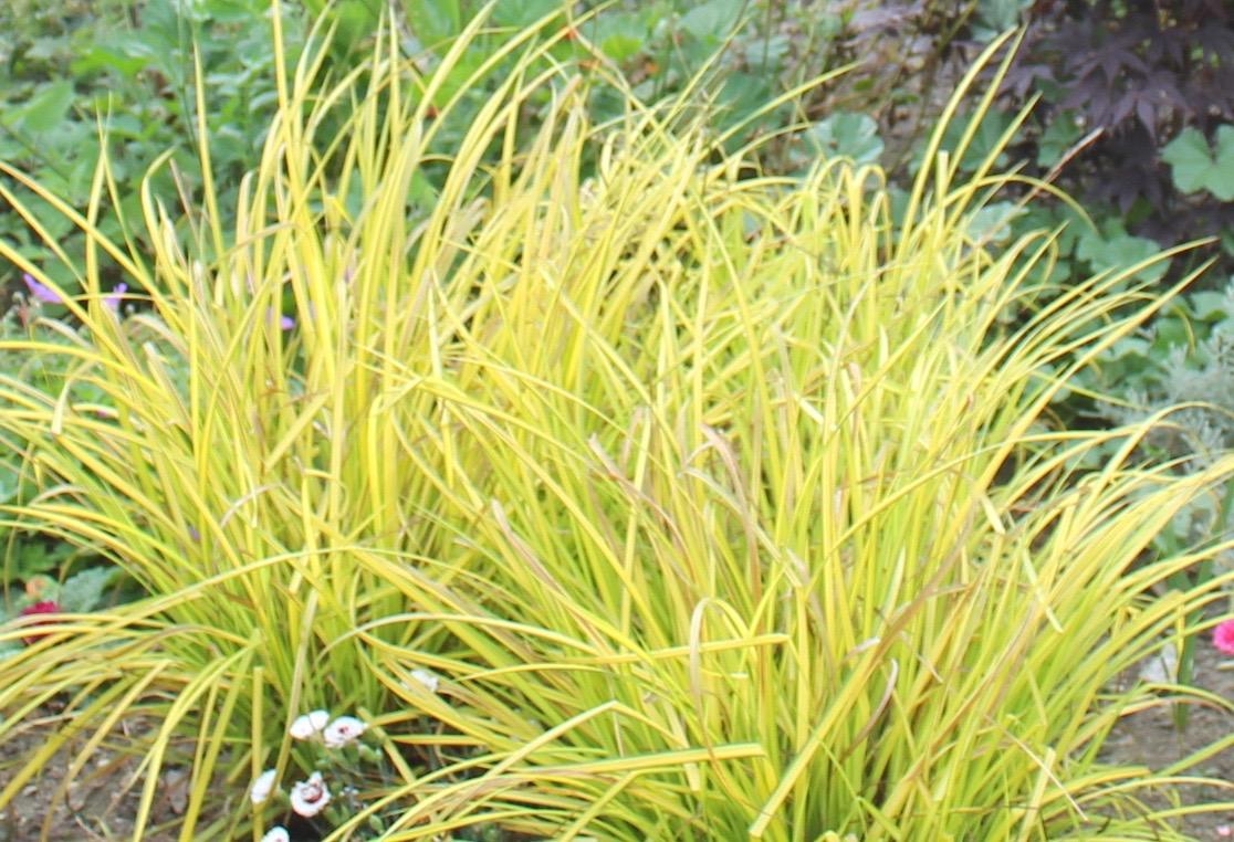 Bowles Golden grass