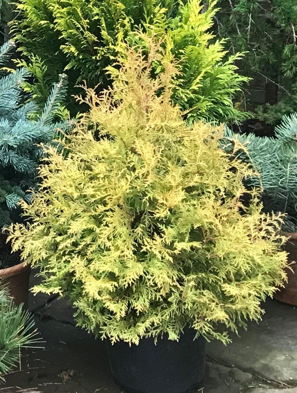 'Evergold' conifer