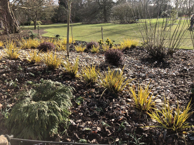 Golden grass at Wisley RHS garden