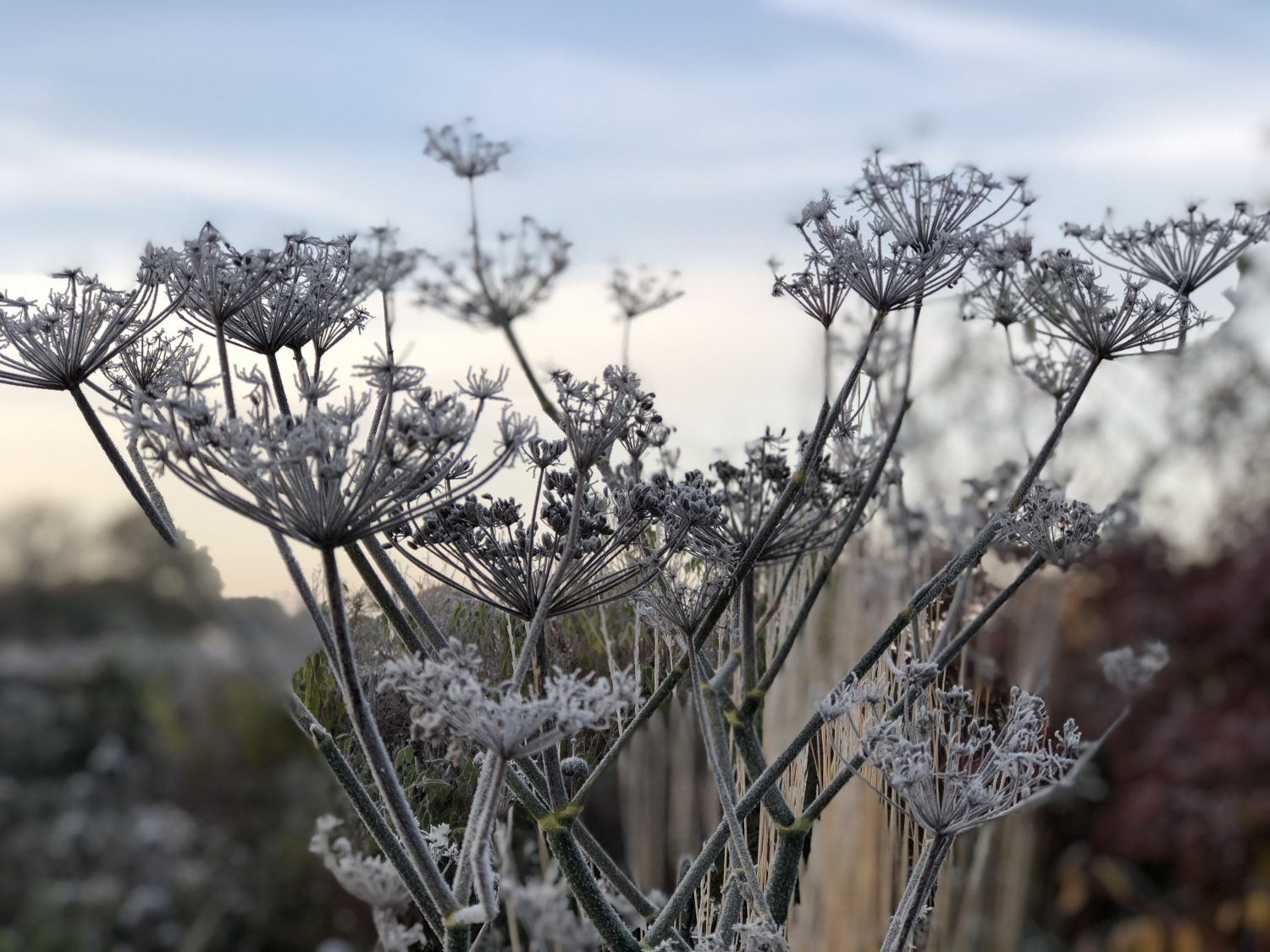 Long-lasting seedheads are also useful for wildlife – birds will eat the seeds and insects will use hollow stems for refuge until the spring