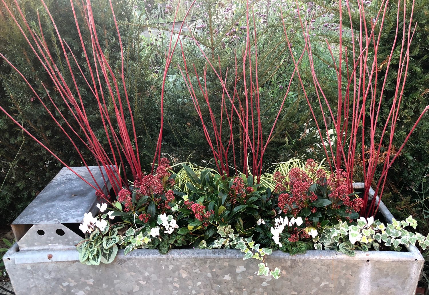 Dogwood stems in a winter container