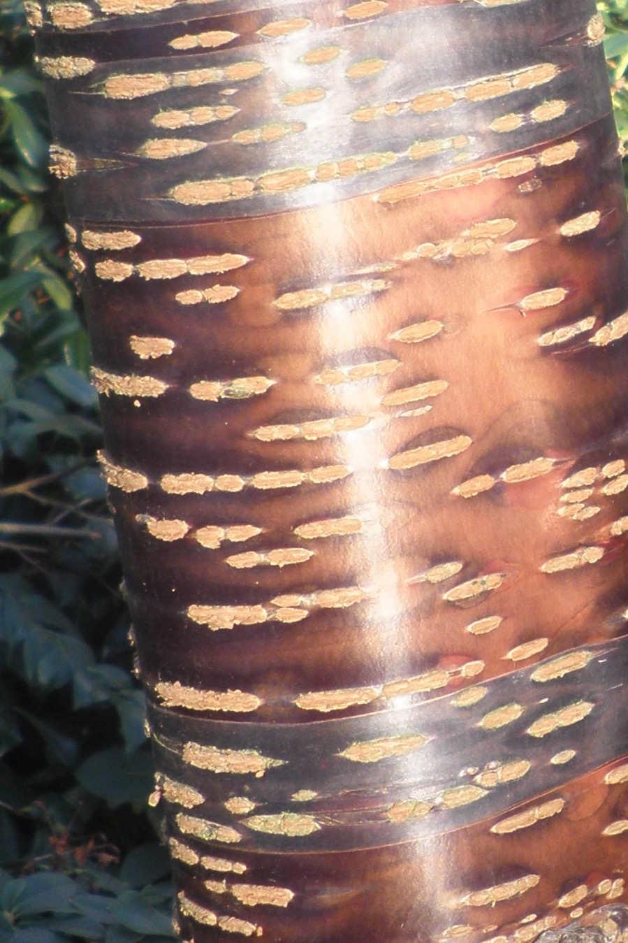 Gleaming bark of Prunus serrula