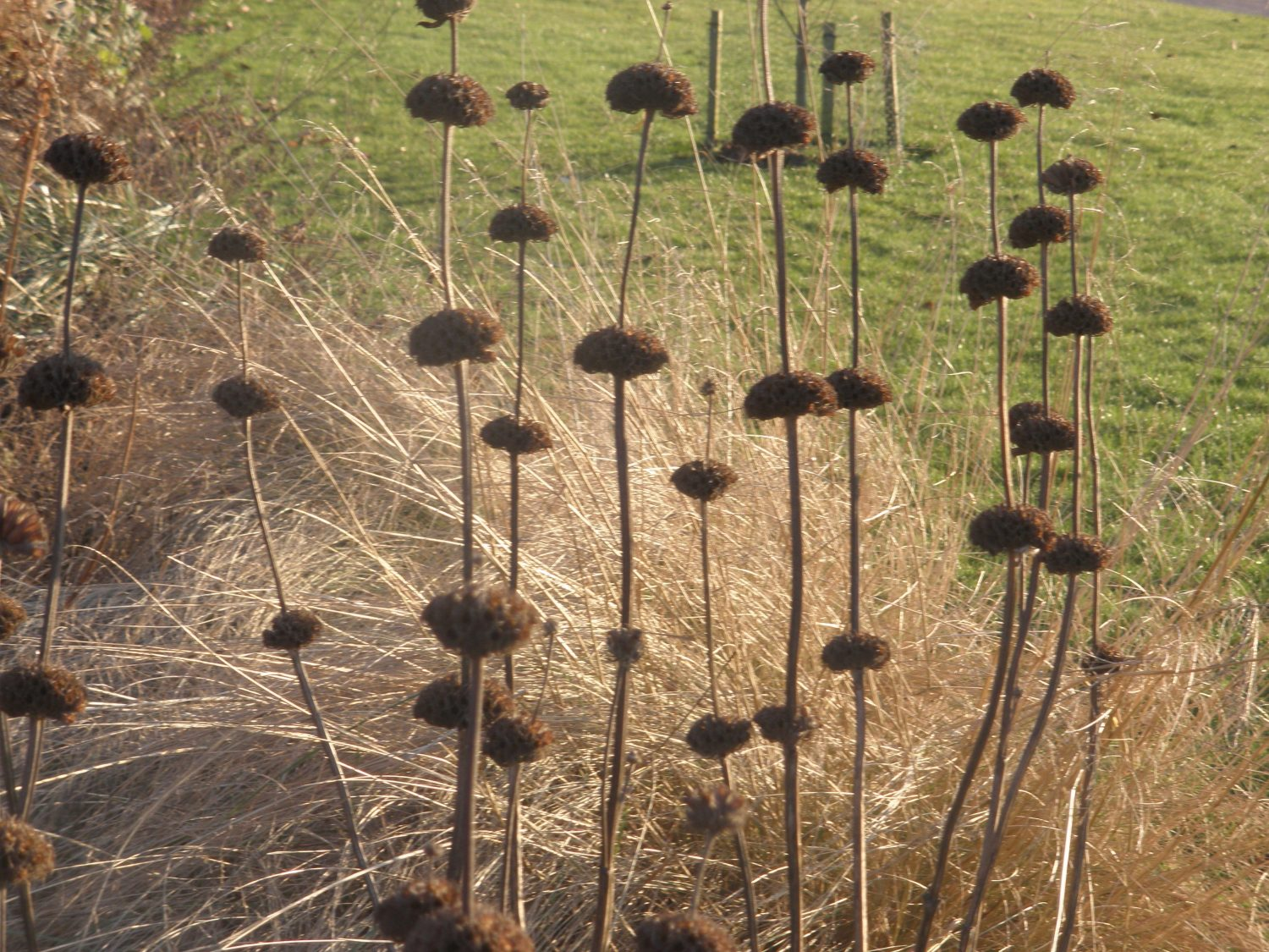 Whorls of Phlomis seedheads