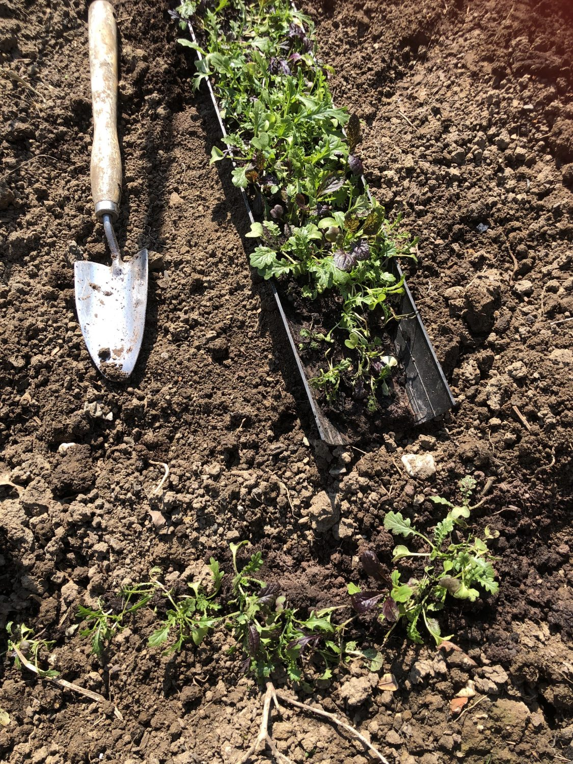 Planting out a row of salad