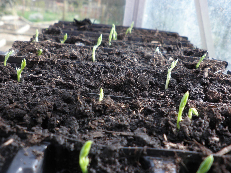 Pea seedlings in a root trainer