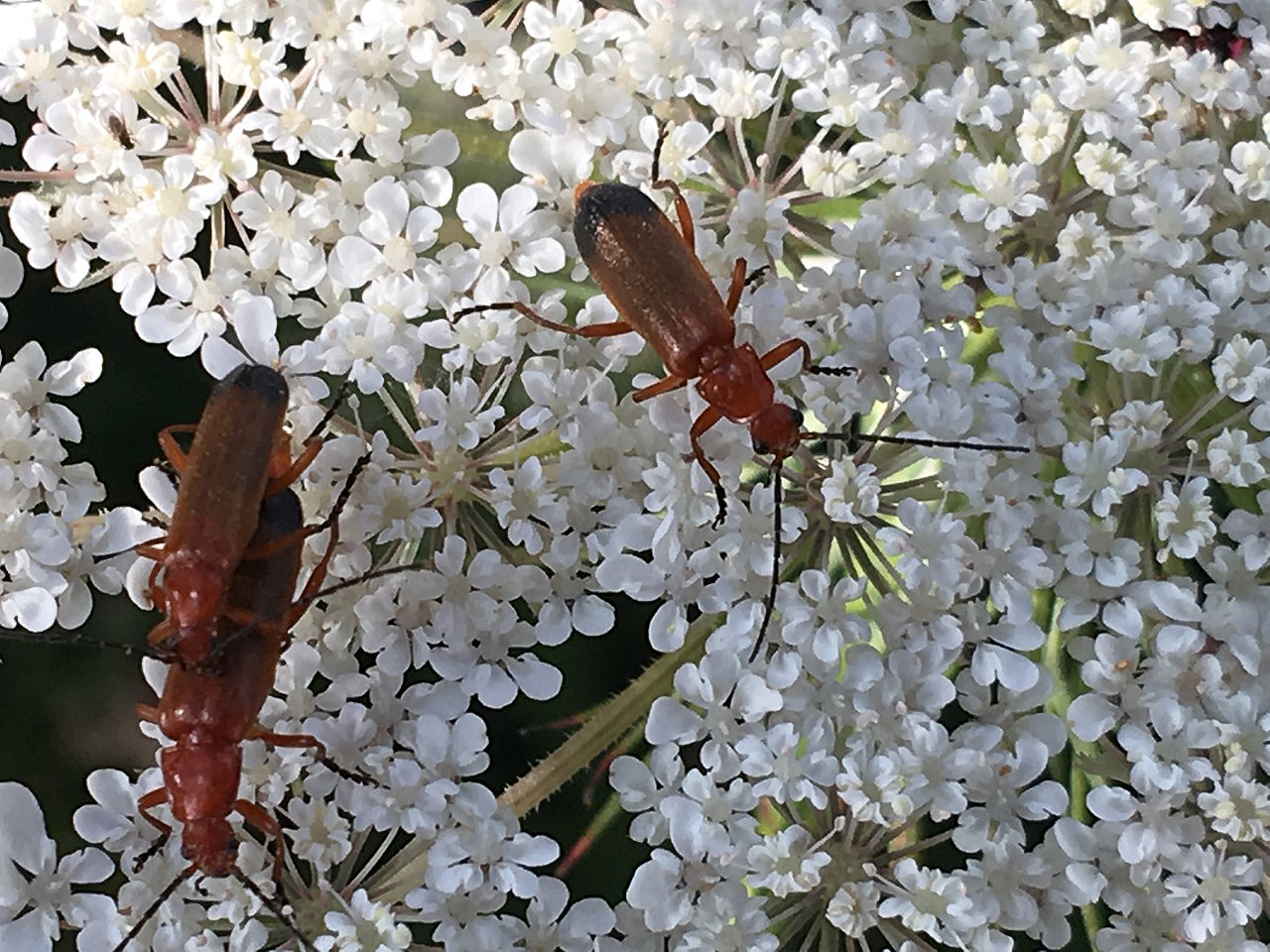 Common Red Soldier Beetles, often seen on umbelifer flowers