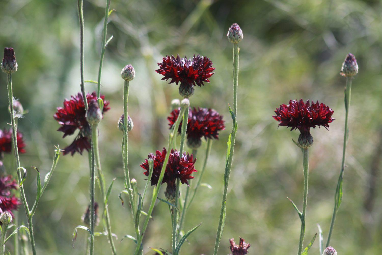Cornflower 'Black Boy'