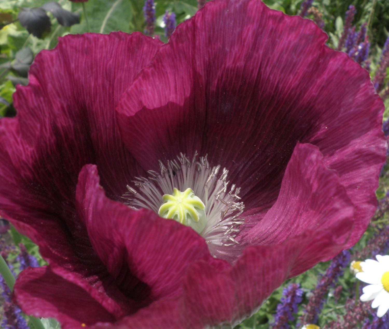 Opium poppy 'Lauren's Grape'
