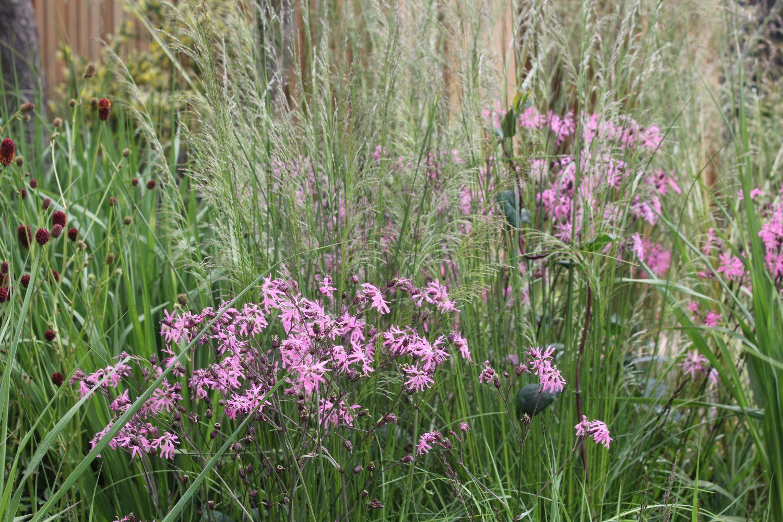 Ragged Robin and Burnet among grasses