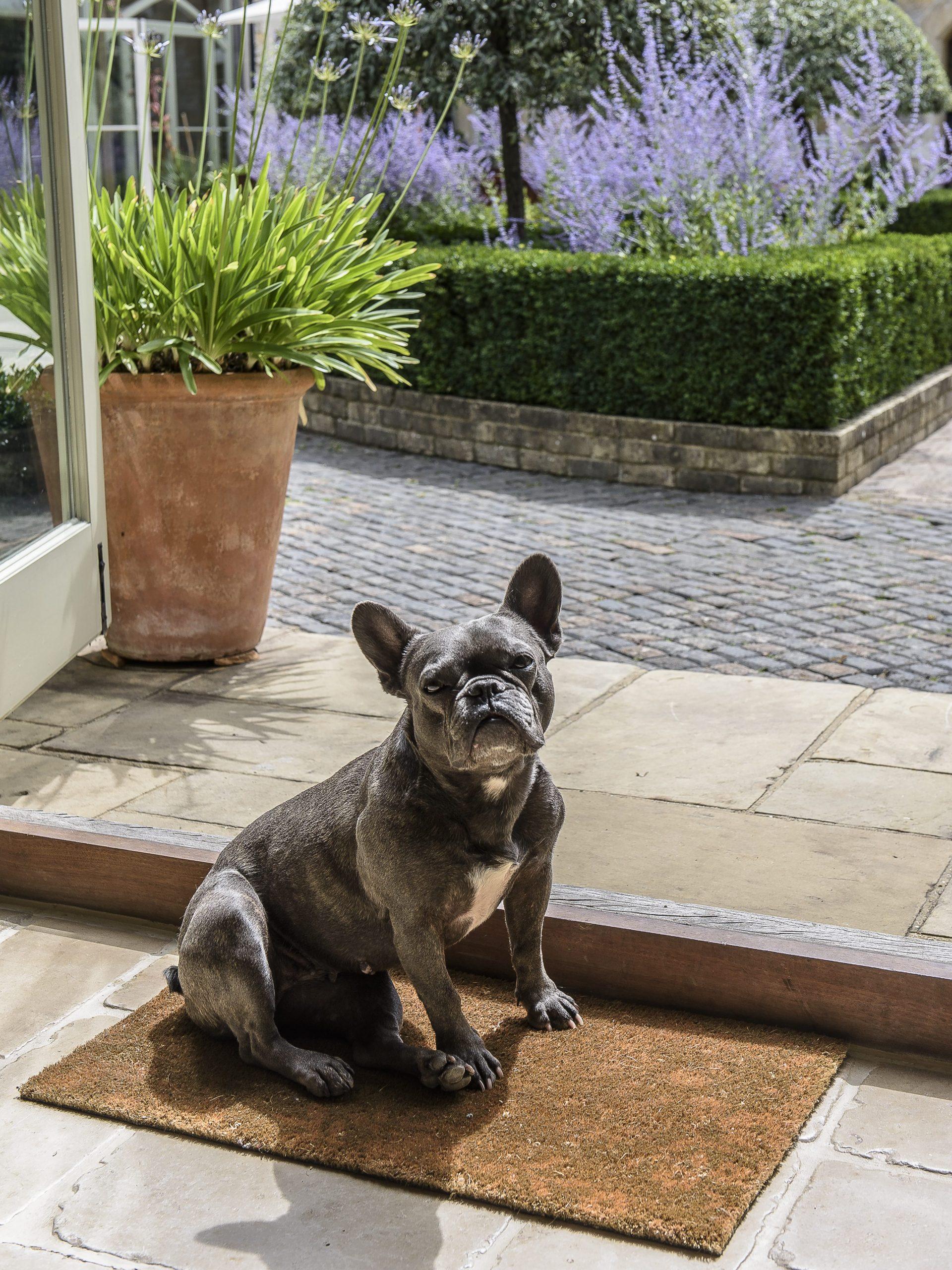 French Bulldog soaks up some sunshine in the kitchen.